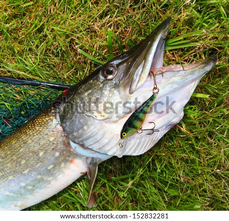 The Pike caught on a spinner bait.  - stock photo