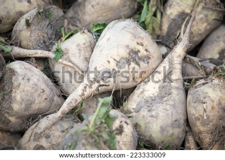 The pile of sugar beet