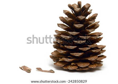 The pine cone with seeds - stock photo