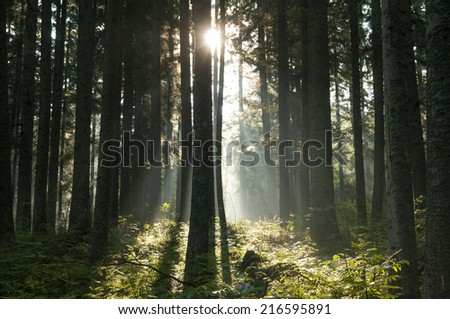 The pine forest at sunrise. Tatry mountains