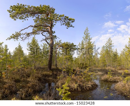 The pine growing among bog (northen country)