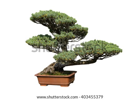 The pine tree bonsai