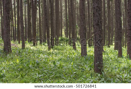 The pine trees form Chiangmai Thailand, The row of pines in the wood.