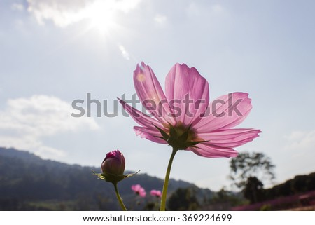 The pink cosmos flower on the blur background