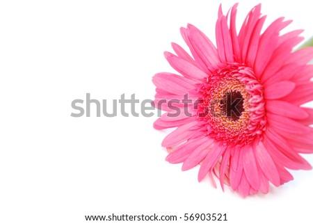 the pink gerbera fame - stock photo