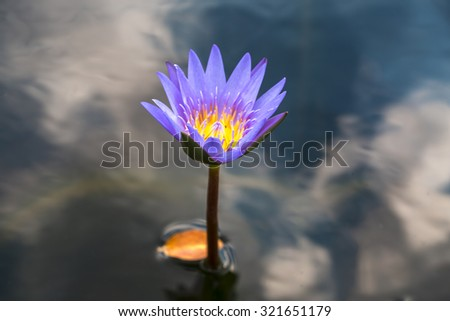 The Pink Lotus Flower - stock photo