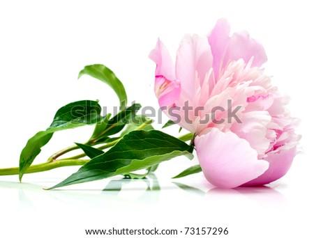 The pink peony on white background. Shallow DOF. Isolation - stock photo