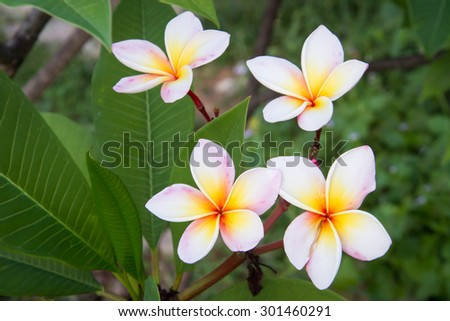 The pink, yellow and white frangipani  with leaves - stock photo