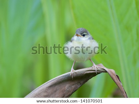 The Plain Prinia, or the Plain, or White-browed, Wren-Warbler[2] (Prinia inornata) is a small warbler in the cisticola family. - stock photo