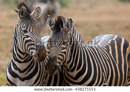 The plains zebra (Equus quagga, formerly Equus burchellii), also known as the common zebra or Burchell's zebra, double portrait