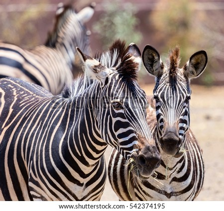 The plains zebra is the most common, and has or had about six subspecies distributed across much of southern and eastern Africa. Each animal stripes are unique as fingerprints, none are exactly alike