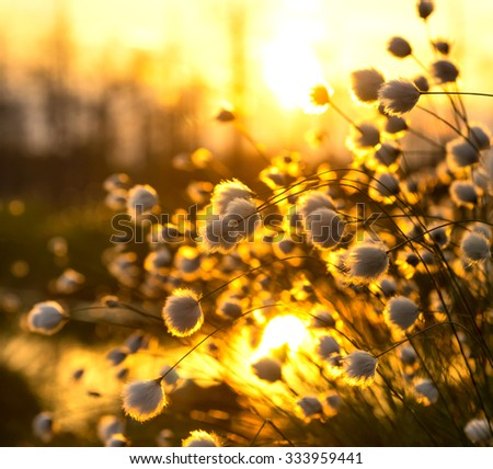 The plant cotton grass against a colourful decline in the summer evening - stock photo