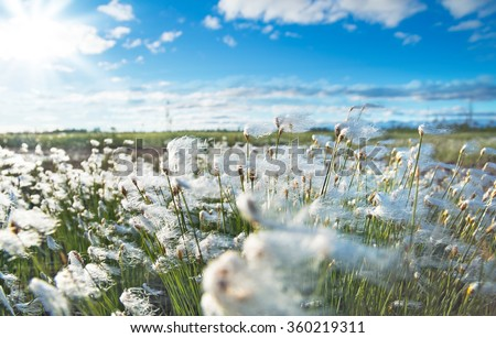 The plant cotton grass in the Siberian tundra at sunset sky background - stock photo