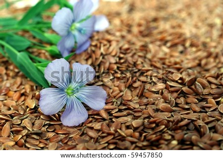 the plant of flax from blue flowers on seeds - stock photo