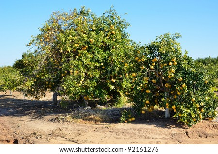 The plantation of citrus harvest of grapefruit - stock photo