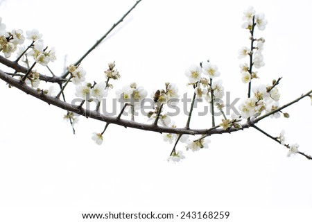 The plum blossoms bloom luxuriantly in a sunny winter, and a bee flutters around with white background, likes Chinese ink and wash painting. - stock photo