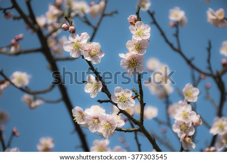 The plum flower blooming