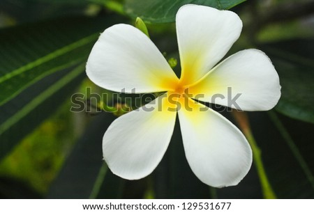 Plumeria has five petals yellow middle stock photo image royalty the plumeria has five petals yellow middle outside white mightylinksfo