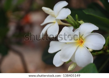 The plumeria has five petals, yellow middle, outside white.