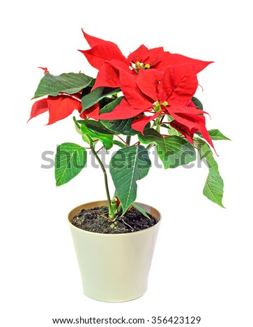 """The poinsettia (Euphorbia pulcherrima) with red and green foliage, Christmas floral displays in a white flower pot.White background. In romanian called """"Craciunita"""" or """"Steaua Craciunului"""". - stock photo"""