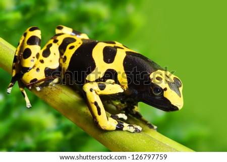 The poison dart frog Dendrobates leucomelas in a rainforest. - stock photo