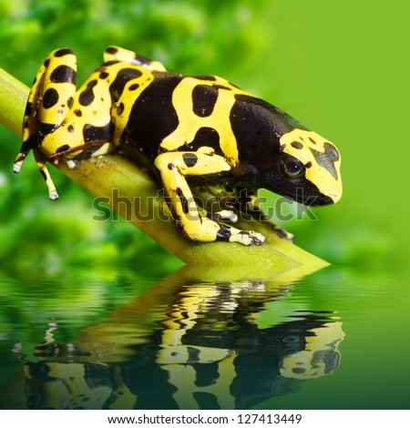The poison dart frog Dendrobates leucomelas in a rainforest. - stock photo