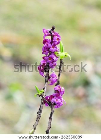 The poisonous plant February daphne  - stock photo