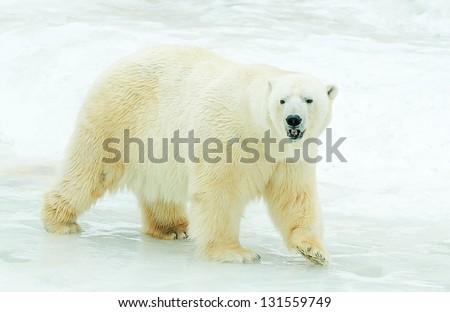The Polar Bear on ice. - stock photo
