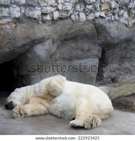 The polar bear sleeps in the open-air cage - stock photo