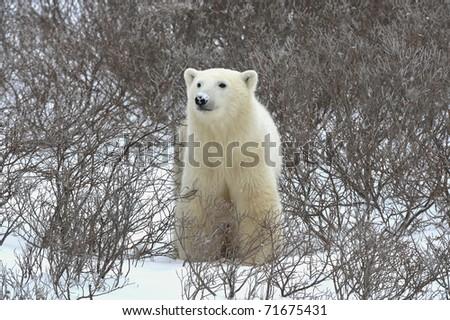 The polar bear sniffs. A portrait of the polar bear smelling air. - stock photo