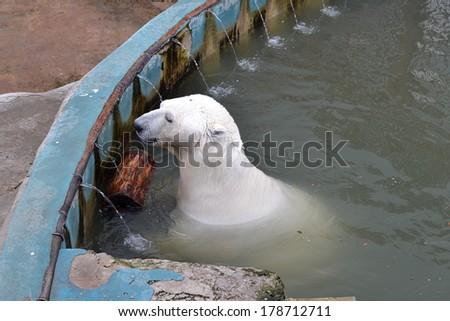 The polar bear swims in the zoo pool - stock photo