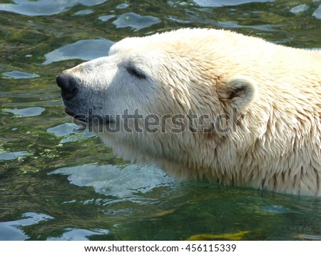 The polar bear (Ursus maritimus) is a carnivorous bear whose native range lies largely within the Arctic Circle.