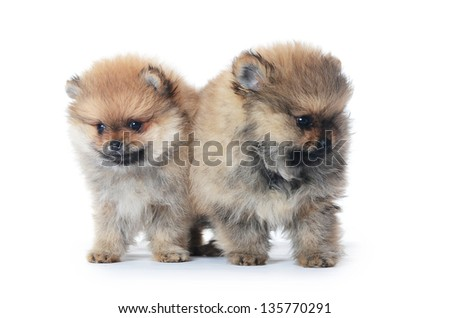The pomeranian spitz puppy isolated on white - stock photo