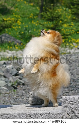The Pomeranian Standing on hinder legs - stock photo