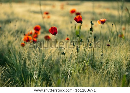 The poppies, spring 1 - stock photo