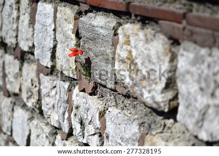 The poppy flower sprouted from the stone wall