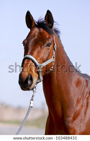 The portrait is more red than a horse in a bridle against the sky - stock photo