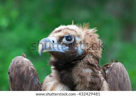 The portrait of a bird of prey from the family accipitridae - stock photo