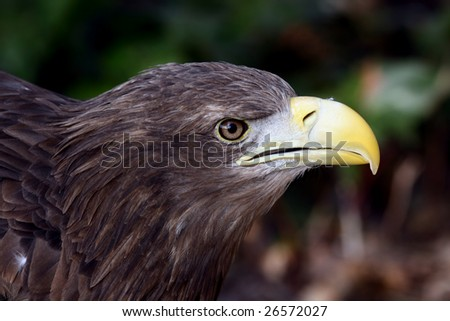 the portrait of a great eagle