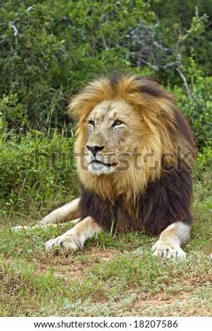 The portrait of a Magnificent Male Lion - stock photo