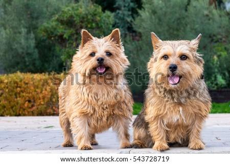 Norwich Terrier Stock ...
