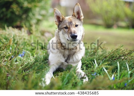 The portrait of a young West Siberian Laika dog lying outdoors on the grass