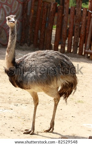 The  portrait of an ostrich