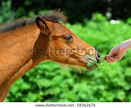 The portrait of bay foal - stock photo
