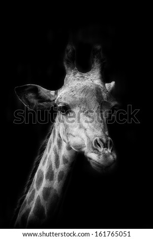 The portrait of Giraffe in black background - stock photo