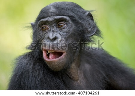 The portrait of  juvenile Bonobo in natural habitat. Green natural background. The Bonobo ( Pan paniscus), called the pygmy chimpanzee. Democratic Republic of Congo. Africa - stock photo