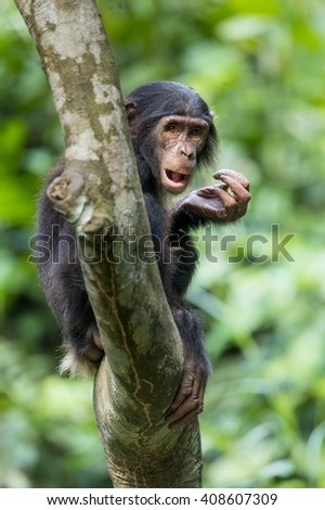 The portrait of juvenile Bonobo on the tree in natural habitat. Green natural background. The Bonobo ( Pan paniscus), called the pygmy chimpanzee. Democratic Republic of Congo. Africa  - stock photo