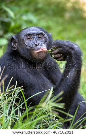 The portrait of  male Bonobo in natural habitat. Green natural background. The Bonobo ( Pan paniscus), called the pygmy chimpanzee. Democratic Republic of Congo. Africa