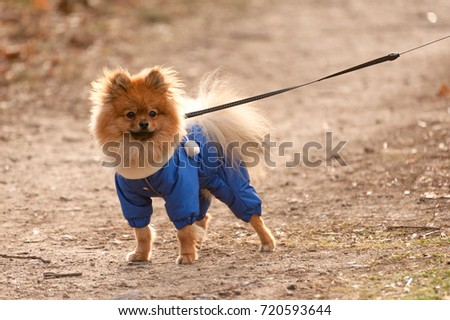 Simple Spitz Canine Adorable Dog - stock-photo-the-portrait-of-miniature-cute-german-spitz-dog-in-the-blue-sweater-with-leash-is-walking-on-the-720593644  Photograph_136140  .jpg