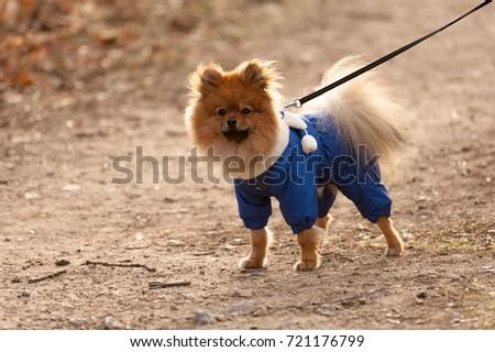 Portrait Miniature Cute German Spitz Dog Stock Photo - 22 adorable animals wearing miniature sweaters